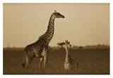 Giraffe adult and foal on savanna, Kenya - Sepia Prints by Tim Fitzharris