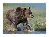 Grizzly Bear running through water, North America Print by Tim Fitzharris