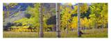 Quaking Aspen grove in autumn, Colorado Prints by Tim Fitzharris