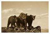 Grizzly Bear with two one-year-old cubs, North America - Sepia Poster by Tim Fitzharris