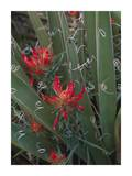 Paintbrush growing among with Banana Yucca , North America Prints by Tim Fitzharris