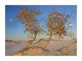 Fremont Cottonwood trees, White Sands National Monument, New Mexico Prints by Tim Fitzharris