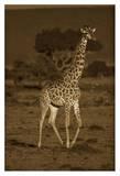 Giraffe portrait, Kenya - Sepia Prints by Tim Fitzharris