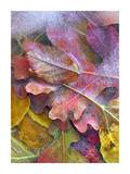 Frozen autumn leaves, North America Prints by Tim Fitzharris