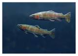 Rainbow Trout pair swimming underwater Posters by Tim Fitzharris