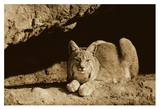 Bobcat adult resting on rock ledge, North America - Sepia Prints by Tim Fitzharris