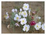 Evening Primrose with Grizzly Bear Cactus , North America Print by Tim Fitzharris