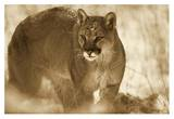 Mountain Lion portrait in winter, Montana - Sepia Prints by Tim Fitzharris