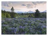 Lupine meadow, Grand Teton National Park, Wyoming Art by Tim Fitzharris