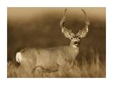 Mule Deer male in dry grass, North America - Sepia Poster by Tim Fitzharris
