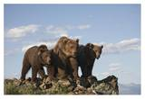 Grizzly Bear with two one-year-old cubs, North America Print by Tim Fitzharris