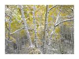 Quaking Aspens near Kebbler Pass, Gunnison National Forest, Colorado Prints by Tim Fitzharris