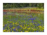 Annual Coreopsis Texas Bluebonnet and Drummond's Phlox Posters by Tim Fitzharris