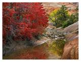 Maple and Cottonwood trees in autumn, Zion National Park, Utah Print by Tim Fitzharris