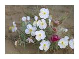 Evening Primrose with Grizzly Bear Cactus , North America Prints by Tim Fitzharris