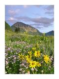 Orange Sneezeweed and Smooth Asters and Gothic Mountain, Colorado Posters by Tim Fitzharris