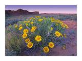 Sunflowers and buttes, Capitol Reef National Park, Utah Prints by Tim Fitzharris