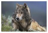 Gray Wolf resting, North America Posters by Tim Fitzharris