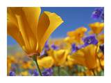 California Poppy flowers, Antelope Valley, California Prints by Tim Fitzharris
