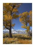 Cottonwood with the Carson Range in the background, Nevada Posters by Tim Fitzharris