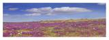 Sand Verbena carpeting the Imperial Sand Dunes, California Print by Tim Fitzharris