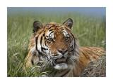 Siberian Tiger portrait, endangered, native to Siberia Poster af Tim Fitzharris