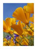 California Poppy flowers, Antelope Valley, California Print by Tim Fitzharris