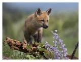 Red Fox kit climbing, North America Prints by Tim Fitzharris