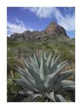Agave below Emory Peak, Chisos Mountains, Big Bend NP, Texas Prints by Tim Fitzharris
