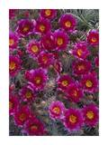Grizzly Bear Cactus in bloom, North America Prints by Tim Fitzharris
