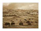 American Bison herd grazing on praire, Theodore Roosevelt NP, North Dakota - Sepia Posters by Tim Fitzharris