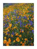 California Poppy and Desert Bluebell flowers, Antelope Valley, California Poster by Tim Fitzharris