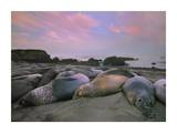 Northern Elephant Seals, Point Piedra Blancas, California Plakater af Tim Fitzharris