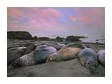 Northern Elephant Seals, Point Piedra Blancas, California Reprodukcje autor Tim Fitzharris