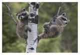 Raccoon two babies in tree, North America Poster af Tim Fitzharris