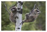 Raccoon two babies in tree, North America Poster by Tim Fitzharris