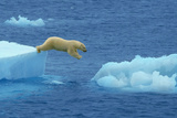 Polar Bear Jumping Ice Floes Photographic Print by  DLILLC