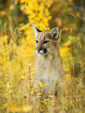 Cougar (Felis Concolor) Juvenile. A Solitary and Strongly Territorial Hunting Species that Requires Photographic Print by Bob Gurr