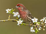 Male House Finch (Carpodacus Mexicanus) on Plum Blossoms at Victoria, Vancouver Island, British Col Photographic Print by Tim Zurowski