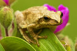 Spring Peeper (Hyla Crucifer) Sitting on Garden Spiderwort Flower, Lively, Ontario, Canada. Photographic Print by Don Johnston