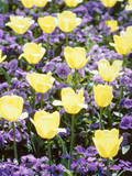 Yellow Tulips between Purple Pansys Photographic Print by Herbert Kehrer