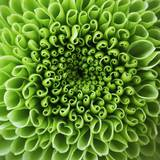 GREEN SHAMROCK CHRYSANTHEMUM Photographic Print by Clive Nichols
