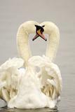 Mute Swan Pair during their Courtship Ritual Impressão fotográfica por Andrew Parkinson