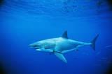 Great White Shark and Small School of Mackerel Scad Fotografisk tryk af Jeffrey Rotman
