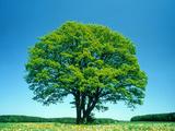 Oak in Spring Photographic Print by Gerolf Kalt