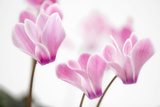 Cyclamen 'Alpine Violet' Photographic Print by Julie Pigula