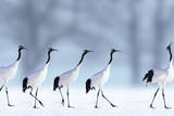 Red-Crowned Cranes Photographic Print by  DLILLC