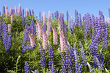 Pink and Purple Wild Lupines Photographic Print by Doug Wilson