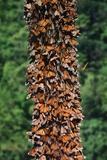 Monarch Butterflies Fotografisk tryk af Danny Lehman