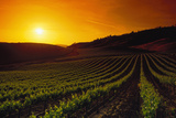 Vineyards at Sunset Photographic Print by Charles O'Rear